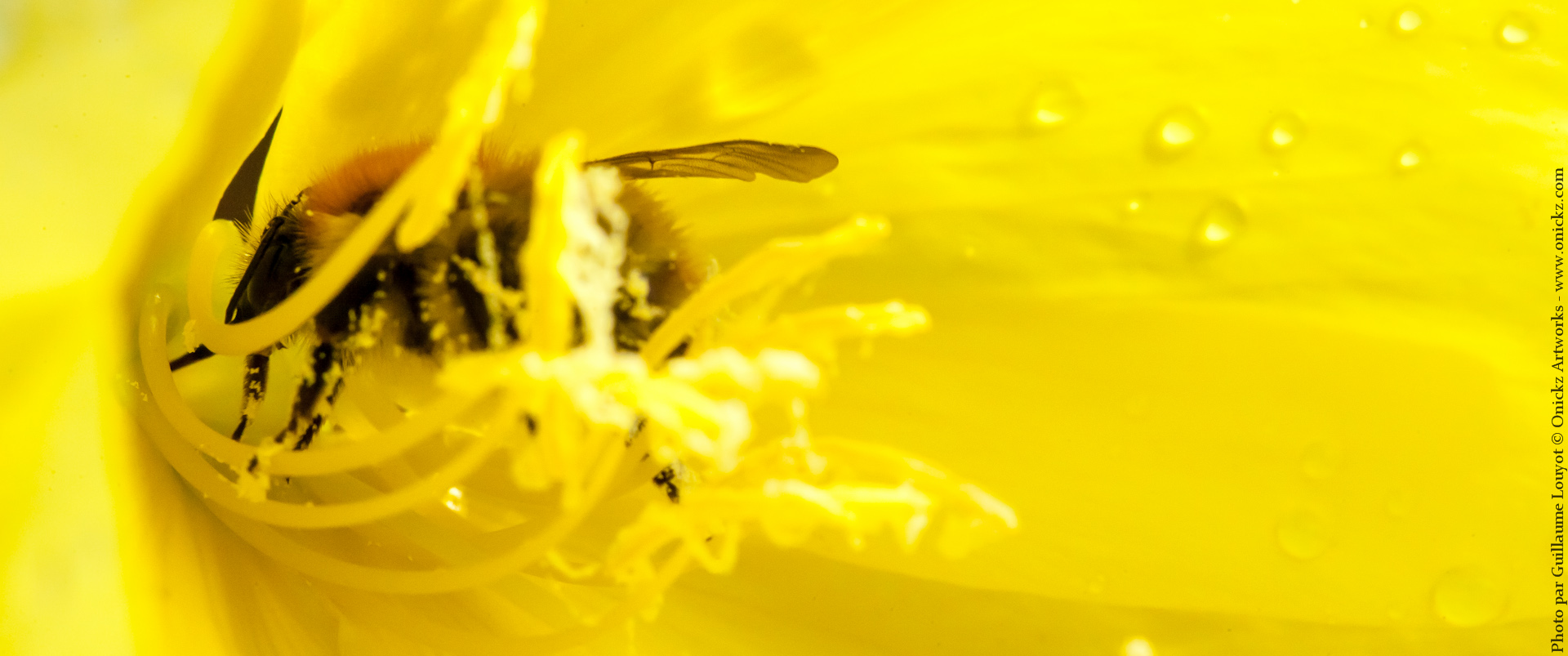 Yellow Bee Macro photo