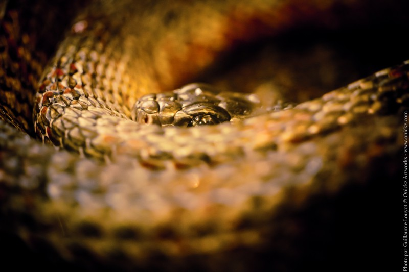 photo de serpent par Guillaume Louyot