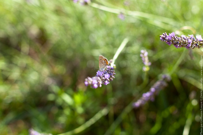 Butterfly of Provence